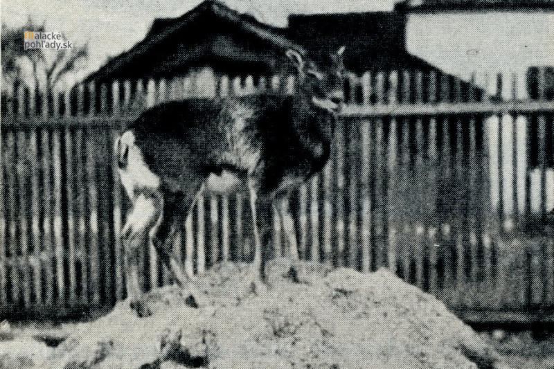 Muflonica v zime 1928/29