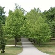 O dvoch platanoch v aleji zámockého parku v Malackách